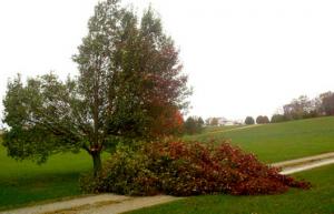 Broken Bradford pear tree